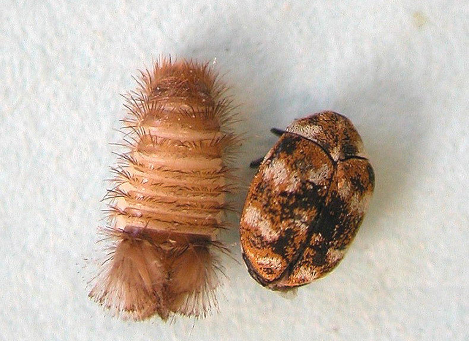 Carpet Beetle Barmac Pty Ltd