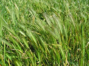 Image result for barley grass weed
